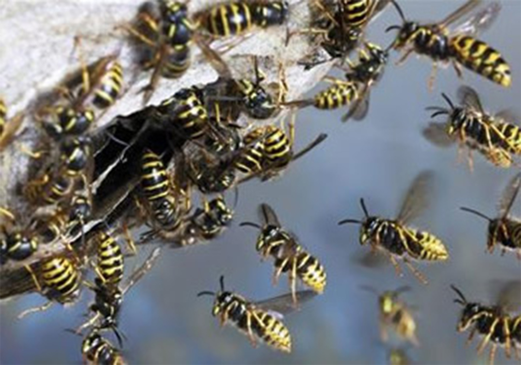 Wasp Control Radcliffe 24/7, same day service, fixed price no extra!