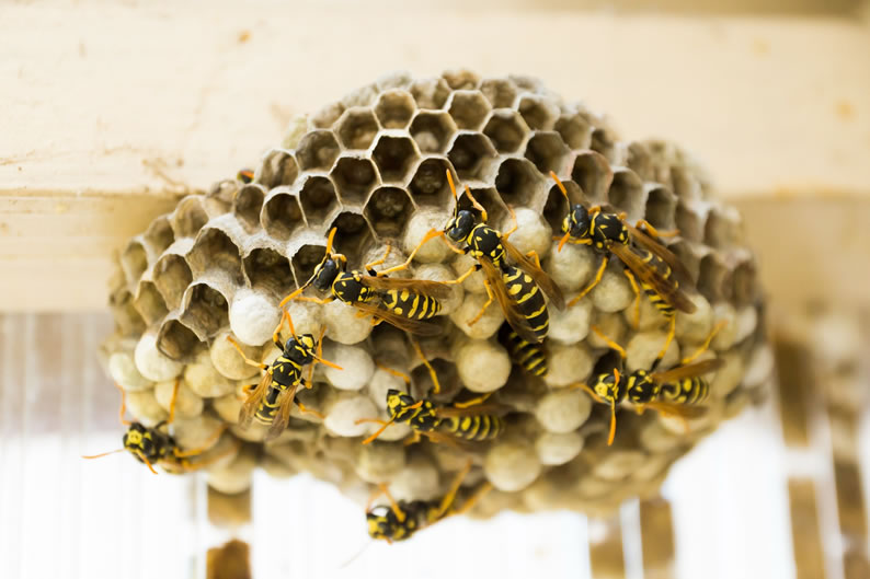 Wasp Control New Islington - Wasp nest treatment 24/7, same day service, covering New Islington, Stockport and cheshire, fixed price no hidden extras!